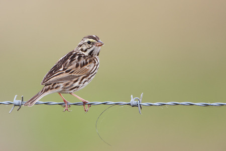 Savannah sparrow (Passerculus sandwichensis), Kissimmee, Florida, USA