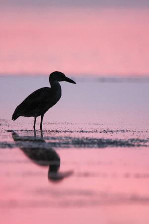 gray herons: Yellow-crowned Night Heron (Nyctanassa violacea) at sunset, Curry Hammock State Park, Florida, USA