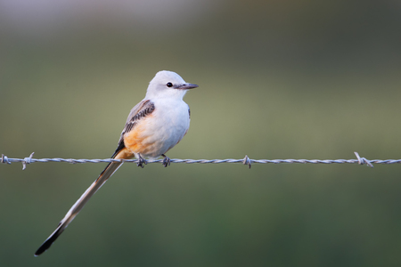 Tyrannus images stock pictures royalty free tyrannus photos and scissor tailed flycatcher tyrannus forficatus on barbwire brazoria nwr texas thecheapjerseys Image collections