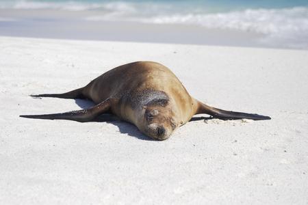 Galapagos Sea Lion sleeping on the beach, Gardner Bay, Espanola, Galapagos Islands