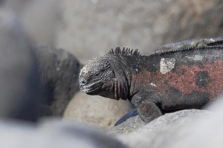 Galapagos Marine iguana (Amblyrhynchus cristatus), Punta Suarez, Espanola, Galapagos Islands