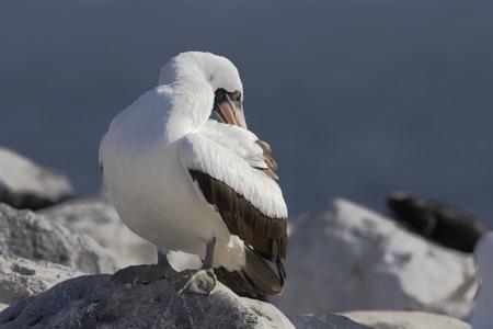 boobies: Nazca booby (Sula granti) on rock, Punta Suarez, Espanola, Galapagos Islands