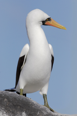 boobie: Nazca booby (Sula granti) on rock, Punta Suarez, Espanola, Galapagos Islands