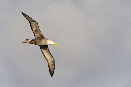Waved Albatross (Phoebastria irrorata) flying, Punta Suarez, Espanola, Galapagos Islands Stock Photo