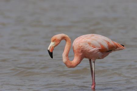 Greater Flamingo (Phoenicopterus ruber ruber) wading in water, Punta Cormorant, Floreana, Galapagos Islands