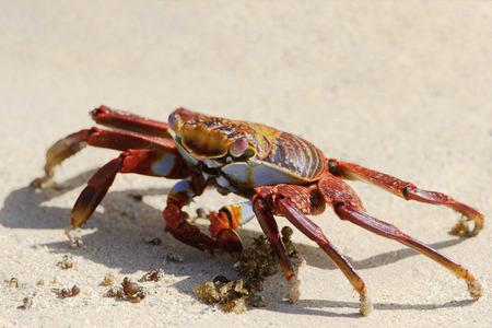 Sally Lightfoot Crab (grapsus grapsus) on the beach, Punta Cormorant, Floreana, Galapagos Islands