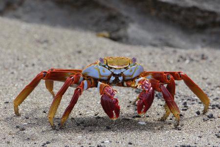 샐리 Lightfoot 해변, 푼 타 마우, Floreana, 갈라파고스 제도에 게 (grapsus grapsus)