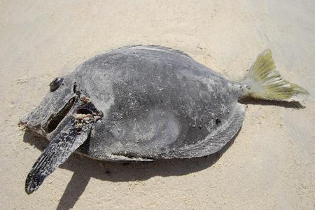 죽은 노란 꼬리 외과 의사 물고기 푼 타 마우, Floreana, 갈라파고스 군도에서 해변에서