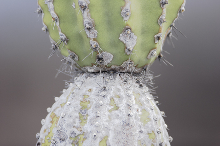 Candelabra 선인장 (Jasminocereus thouarsii), 푼타 모레노, 이사벨라 섬, 갈라파고스 군도