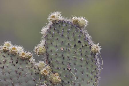 거 대 한 가시 배 (Opuntia echios) 선인장, 푼 타 모레노, Isabela 섬, 갈라파고스 군도 스톡 콘텐츠