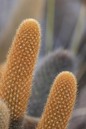 Lava Cactus (Brachycereus nesioticus), Punta Moreno, Isabela island, Galapagos Islands Stock Photo