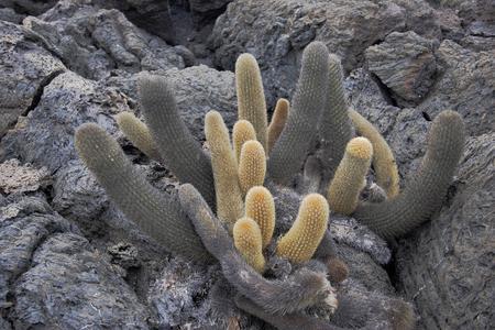 용암 선인장 (Brachycereus nesioticus), Punta Moreno, Isabela island, 갈라파고스 제도, 에콰도르