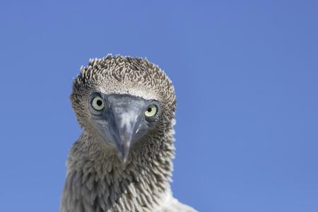 Blue-footed booby (Sula nebouxii) immature head portrait, Elizabeth Bay, Isabela, Galapagos Islands, Ecuador