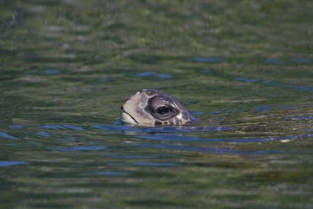 물, 엘리자베스 베이, 이사벨라, 갈라파고스 제도, 에콰도르 서핑 갈라파고스 녹색 거북 (Chelonia agassizii)