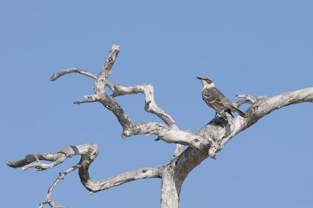 Galapagos mockingbird (Mimus parvulus) in dead tree, Elizabeth Bay, Isabela, Galapagos Islands, Ecuador Stock Photo