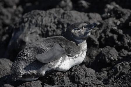 용암 바위, 엘리자베스 베이, 이자벨라, 갈라파고스 제도, 에콰도르에 갈라파고스 펭귄 (Spheniscus mendiculus)