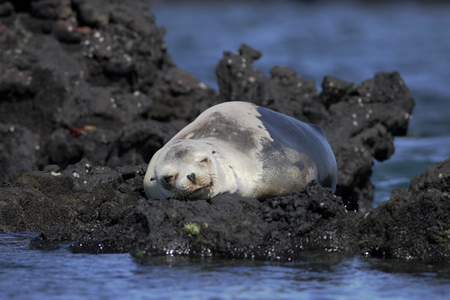 Galapagos Sea Lion sleeping on rocks, Elizabeth Bay, Isabela, Galapagos Islands