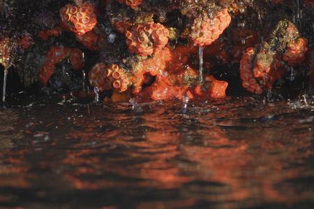Orange cup coral (Tubastraea coccinea), Elizabeth Bay, Isabela, Galapagos Islands, Ecuador 스톡 콘텐츠