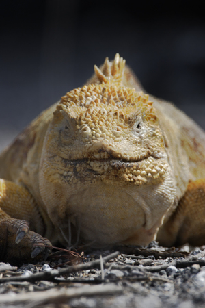 Galapagos land iguana (Conolophus subcristatus) portrait, Urvina Bay, Isabela, Galapagos, Ecuador 스톡 콘텐츠