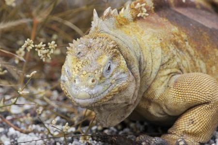 Galapagos land iguana (Conolophus subcristatus) portrait, Urvina Bay, Isabela, Galapagos, Ecuador 스톡 콘텐츠 - 104634132