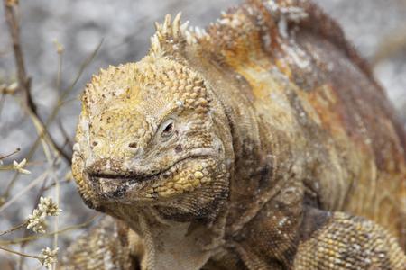 Galapagos land iguana (Conolophus subcristatus) portrait, Urvina Bay, Isabela, Galapagos, Ecuador 스톡 콘텐츠 - 105414095