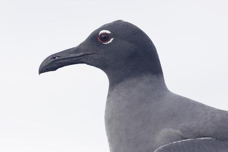 Lava Gull (Leucophaeus fuliginosus) portrait, Urvina Bay, Isabela, Galapagos Islands