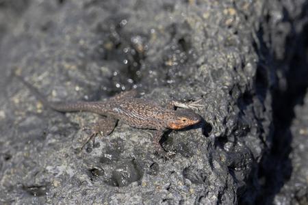 Lava Lizard (Microlophus albemariensis) on rock, Urbina Bay, Isabela, Galapagos Islands, Ecuador 스톡 콘텐츠 - 106275663