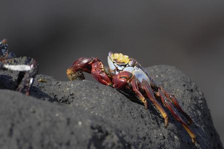 Sally Lightfoot Crab (grapsus grapsus) on lava rock, Urbina Bay, Isabela, Galapagos Islands, Ecuador