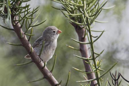Small ground finch (Geospiza fuliginosa) female on branch, Urvina Bay, Isabela, Galapagos Islands, Ecuador