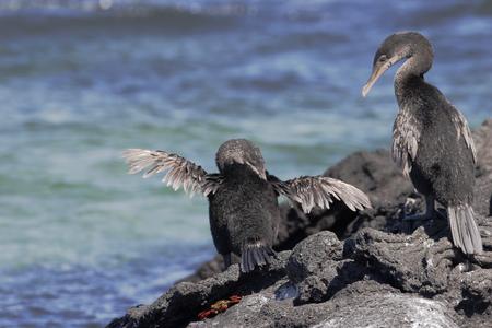 Flightless Cormorant (Phalacrocorax harrisi), Fernandina, Galapagos Islands, Ecuador 스톡 콘텐츠 - 116087861