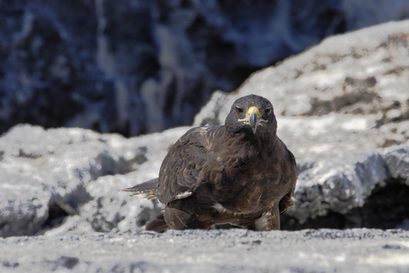 Galapagos Hawk  (Buteo galapagoensis) on Fernandina Island, Galapagos Islands, Ecuador 스톡 콘텐츠