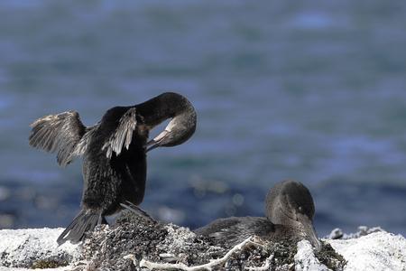 Flightless Cormorant (Phalacrocorax harrisi), Fernandina, Galapagos Islands, Ecuador 스톡 콘텐츠