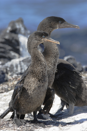 Flightless Cormorant (Phalacrocorax harrisi), Fernandina, Galapagos Islands, Ecuador 스톡 콘텐츠 - 116088044