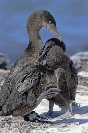 Flightless Cormorant (Phalacrocorax harrisi), Punta Espinosa, Fernandina, Galapagos Islands, Ecuador