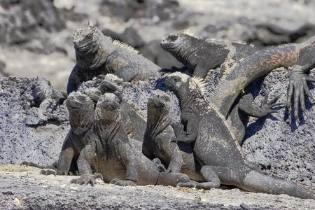 Galapagos Marine iguana (Amblyrhynchus cristatus), Punta Espinosa, Fernandina, Galapagos Islands