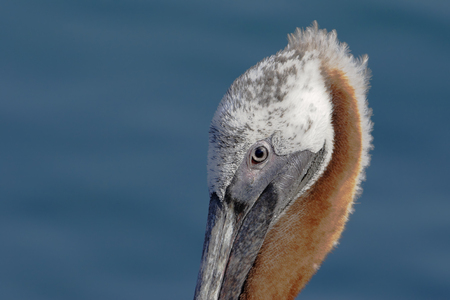 Brown pelican (Pelecanus occidentalis), Puerto Egas, Santiago, Galapagos islands, Ecuador 스톡 콘텐츠 - 116089155