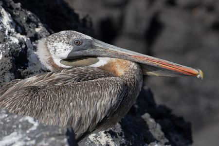 Brown pelican (Pelecanus occidentalis), Puerto Egas, Santiago, Galapagos islands, Ecuador 스톡 콘텐츠