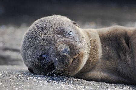 Galapagos Fur Seal (Arctocephalus galapagoensis), Puerto Egas, Santiago, Galapagos islands, Ecuador