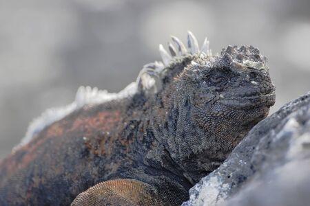 Galapagos Marine iguana (Amblyrhynchus cristatus), Puerto Egas, Santiago, Galapagos Islands, Ecuador