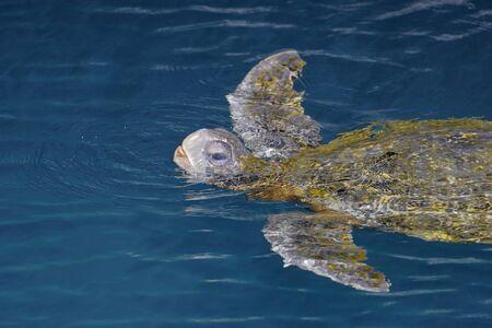 Galápagos green turtle (Chelonia mydas agassizii), Puerto Egas, Santiago, Galapagos Islands, Ecuador