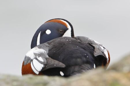 Harlequin Duck (Histrionicus histrionicus) male on rock, Barnegat Jetty, New Jersey
