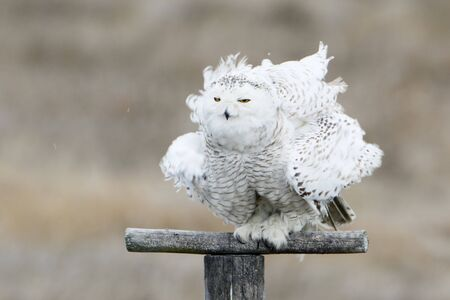 Snowy owl (Bubo scandiacus) on pole ruffing feathers at Forsythe NWR, New Jersey