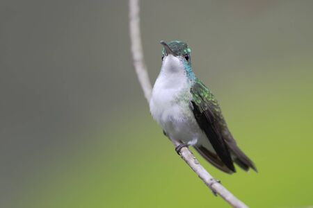 Andean Emerald (Amazilia franciae) sitting on branch in Alambi cloud forest, Ecuador