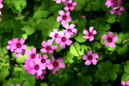 gules: Clover with pink flower Stock Photo
