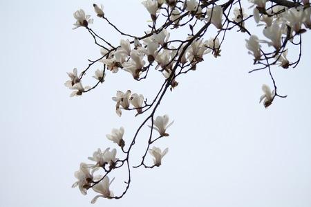 chun: Magnolia
