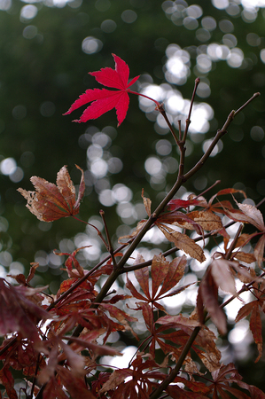 red autumnal leaves Stock Photo