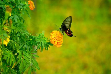 Marigold and butterflies