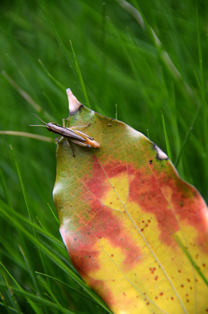 Autumn leaves and grasshoppers Stock Photo
