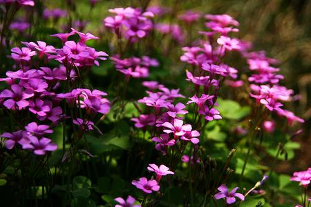 woodsorrel: Pink woodsorrel flowers
