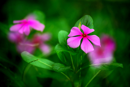 Madagascar rosy periwinkle Stock Photo